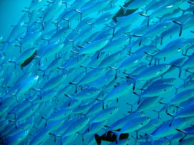 Pesci fucilieri