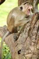 Scimmia sorridente